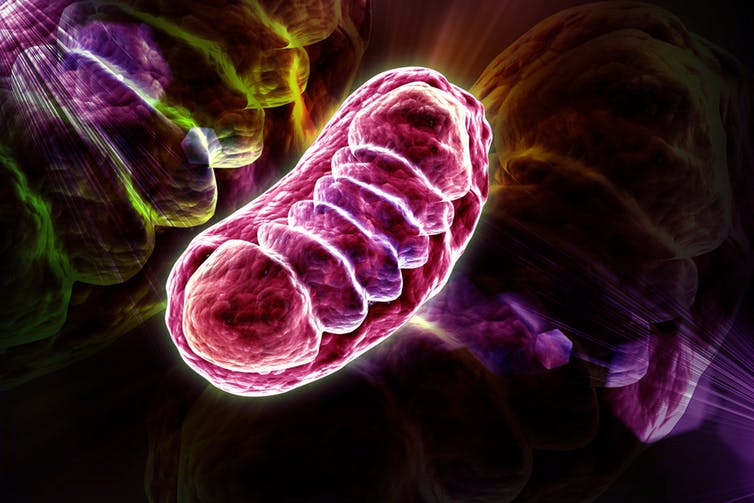 Explainer: what are mitochondria and how did we come to have them?